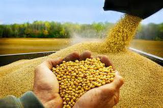 Nghịch lý nhập khẩu nông sản làm nguyên liệu thức ăn gia súc